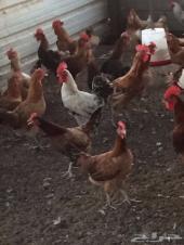 دجاج بياض للبيع ( تم البيع )