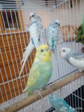 اربع أزواج طيور الحب بادجي