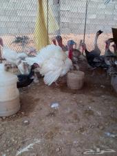 دجاج رومي وبط