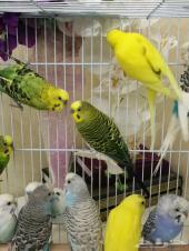 طيور الحب البادجي للإنتاج(سعر جمله)