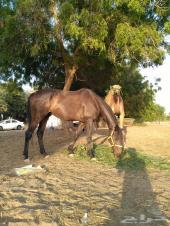 للبيع حصان إنجليزي ..القنفذة