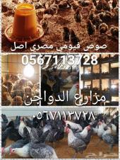 صوص دجاج فيومي مصري