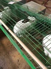 أرانب أمهات شانشيلا ويوزلندي