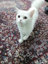 قطة اليفه