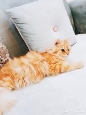 قطه شيرازيه للبيع - مكه