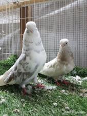 للبيع اجواز نك قنار الإيراني طيور مستوردة
