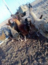 للبيع دجاج بشاير 3__4