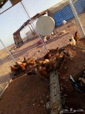 للبيع صيصان دجاج بلدي3_4شهور