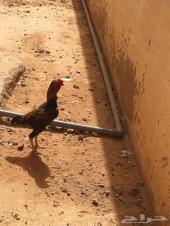 دجاج فارسي قزم جوز  .الزلفي