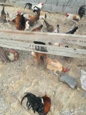دجاج بلدي بياض للبيع