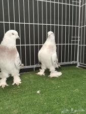 حمام تركي ( طيور معارض )