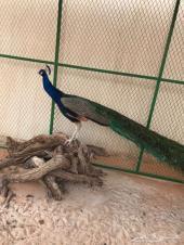طاووس هندي ذكر للبيع