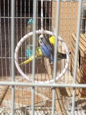 طيور بادجي (حب) زوج