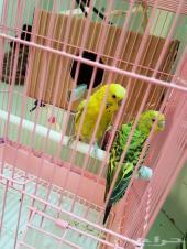 زوج طيور حب (بادجي) للبيع