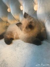 قطط هيمالايا سيل بوينت