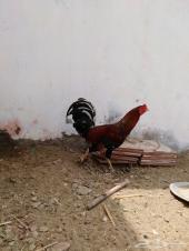 ديك باكستاني مع دجاج بلدي