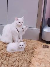 قطه وابنها للبيع شيرازية