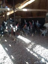 دياك ودجاج للبيع