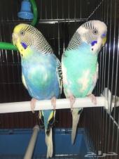 زوج طيور حب هولندي( top )