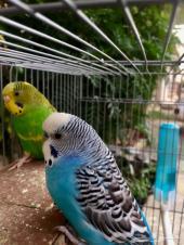 طيور حب للبيع على السوم خميس مشيط