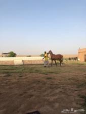حصان شعبي اللون اشقر