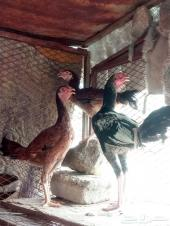 دجاج فيومي المنيوم ورومي وبلجيكي