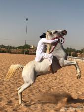 حصان عربي كفو
