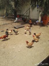 للبيع دجاج نظيف
