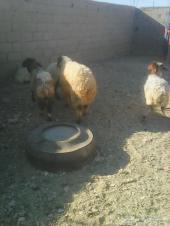 خروف يضحي - تم البيع