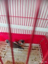 زيبرا طيور الجنه