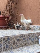 دجاجة مع فروخها