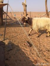 فحل خروف نعيم غنم نعيمية طلي ضان صنف