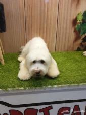 كلب من فصيله الكوتون
