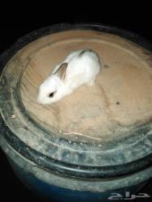 ارانب صغار وجوز كبار