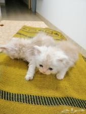 قطتين شيرازي للبيع