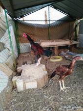 ديك باكستاني ودجاجه بشاير