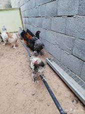 للبيع دجاج برهما اصل