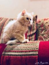 قطه للبيع عمرها شهرين فقط ..