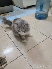 للتبني بجدة قطتان ذكر وأنثى شيرازي