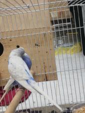 طيور حب دباجي
