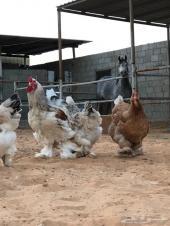 فواخر دجاج البراهما ..