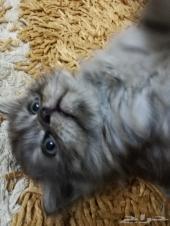 قطط شيرازي صغيرة للبيع ضروري جدا