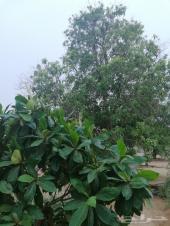 3 مزارع مانجو وليمون في ناوان