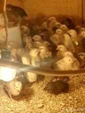 موجود صيصان دجاج بلدي عمر 20يوم