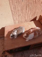 زوج ارانب للبيع