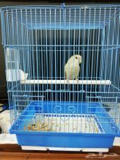 مجموعة طيور الروز (طفرات) 149.