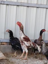دجاج باكستاني تب التب