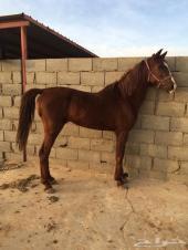 حصان عربي شعبي . الجمش _ الدوادمي