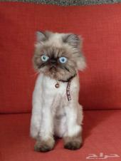 قط هملايا بيكي فيس