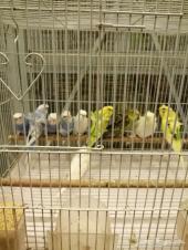 10طيور حب هوقوه جوز كروان هولندي وفردتين روز